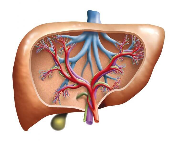 Die Leber - Anatomie und Funktion