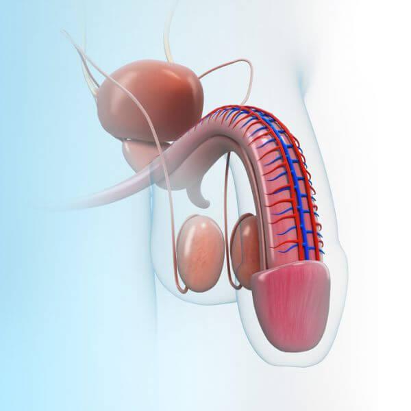 Der Hoden - Anatomie und Funktion