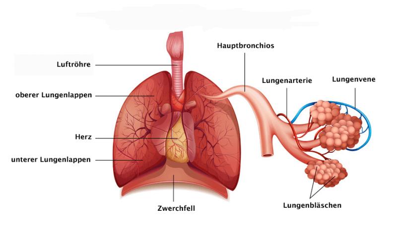 Arbeitsblatt Lunge Und Atemwege : Die lunge aufbau und funktion